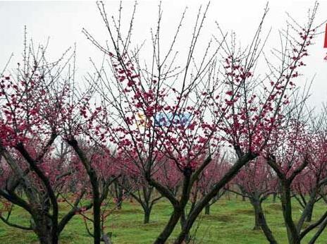 梅花盆景树灯图片