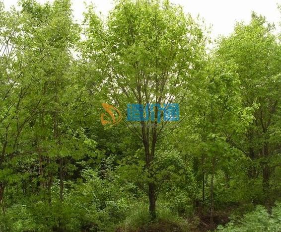 蒙古栎图片