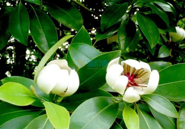 木论木兰图片