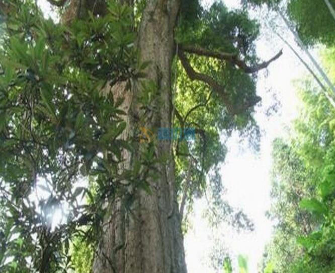 金絲楠木圖片