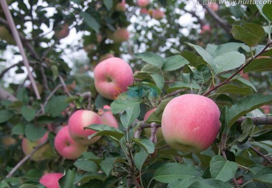红富士苹果苗图片