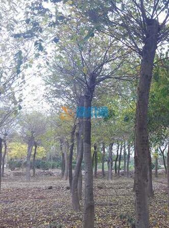 移植樸樹圖片