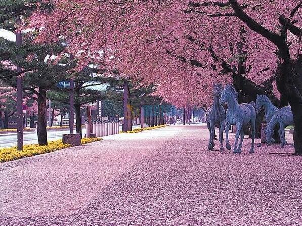 日本櫻花圖片