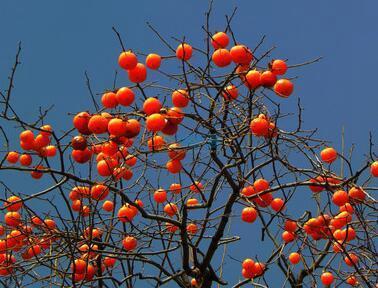 百年柿树图片
