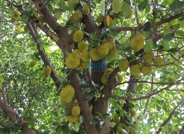 树菠萝图片
