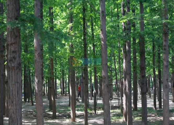 金叶水杉图片