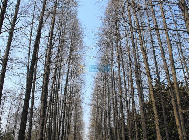 青松树盆景图片