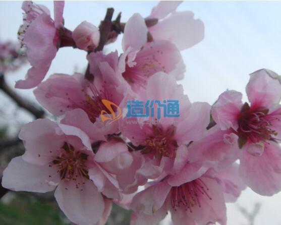 毛樱桃花(单瓣、粉红、观花观果、果可食用)图片
