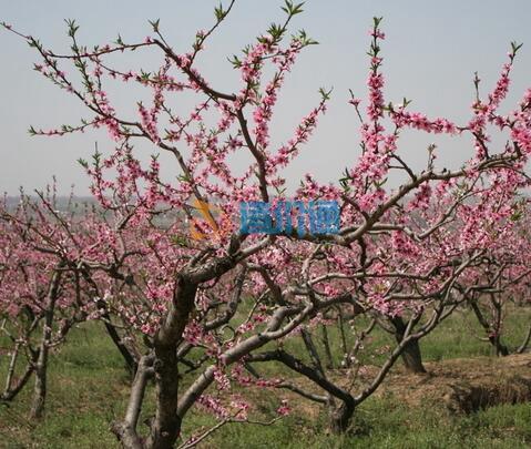 毛桃树图片