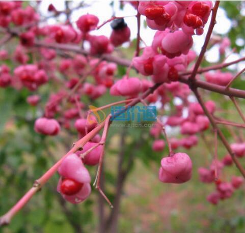 桃叶卫矛图片