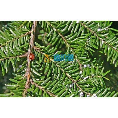 铁杉(板长)木皮图片