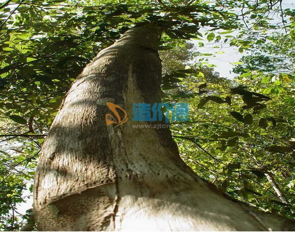 土沉香胸徑為8-9cm,冠幅為0.5-1.5m,苗高3.5-4m圖片