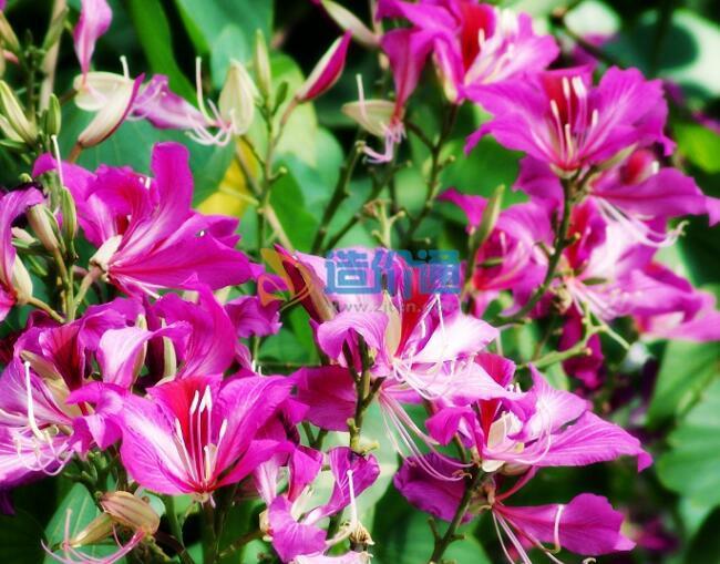 香港紫荆图片
