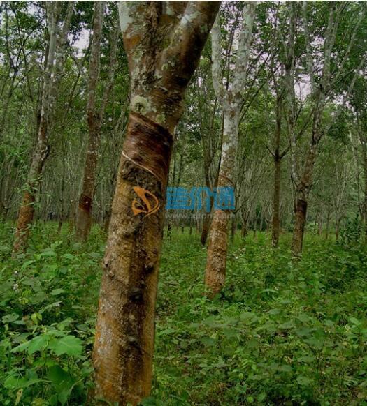 橡皮树--黑金刚盆栽图片