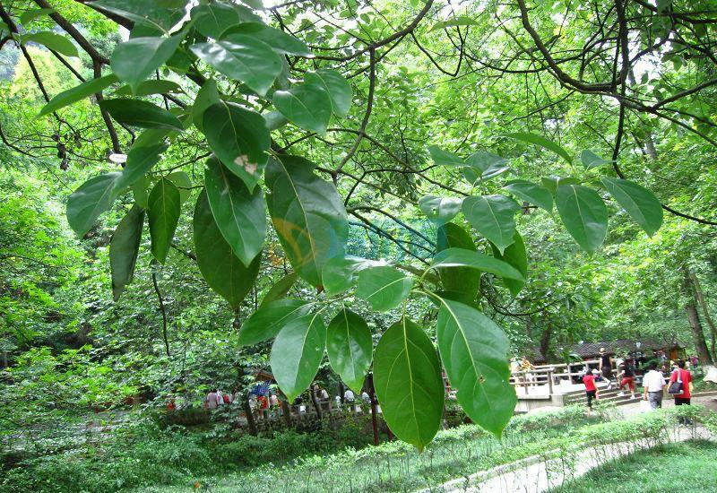 浙江樟图片