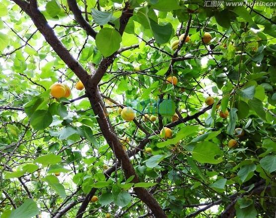 杏子樹苗圖片
