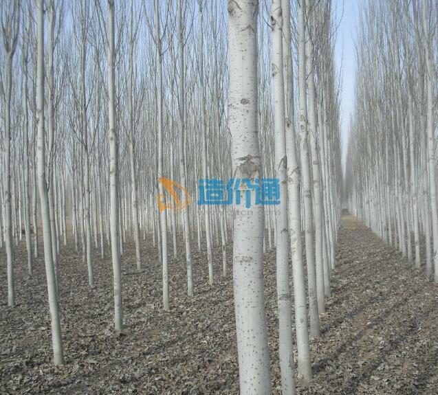 甘肃新疆杨图片