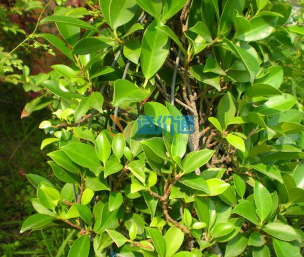 FICUSMICROCARPA造型榕(小)图片