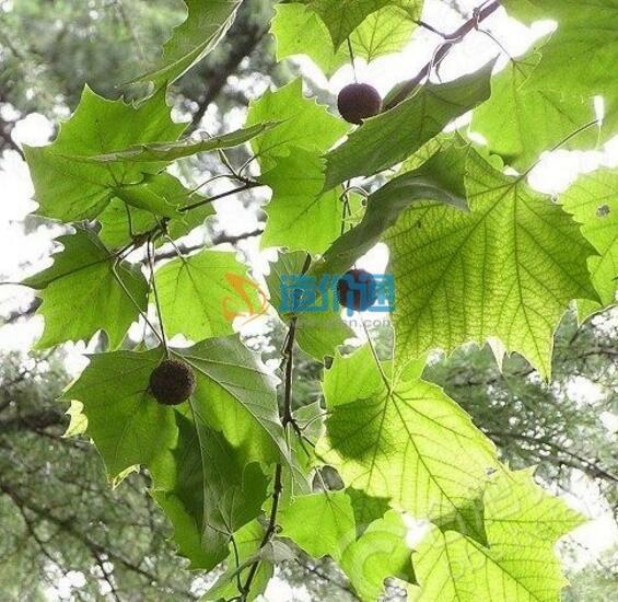 三球悬铃木树图片
