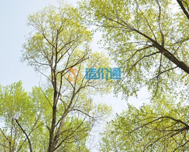 108杨树图片
