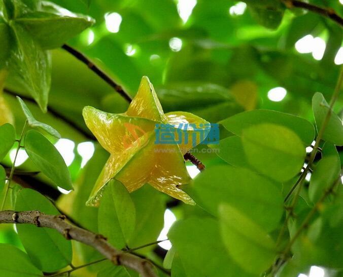 酸杨桃树图片