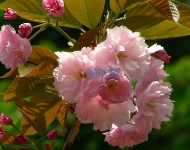 櫻花木棉G圖片