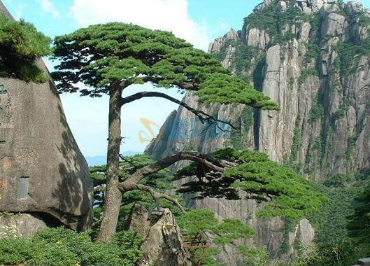 迎客松木盆景图片