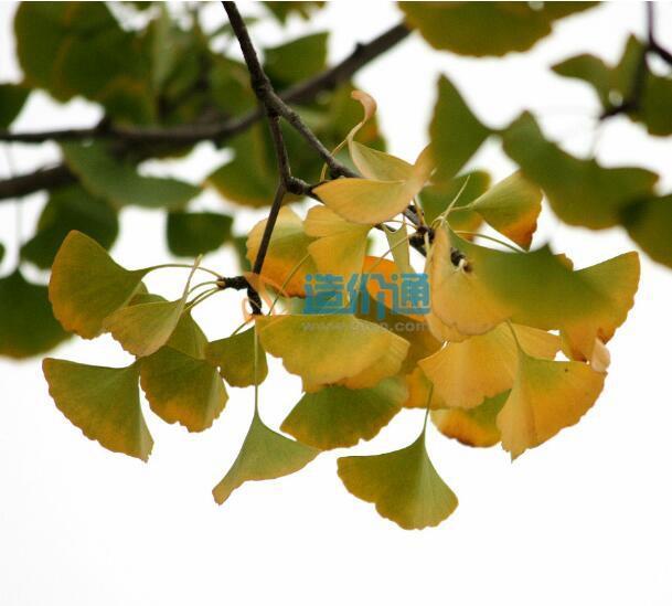銀杏樹苗圖片
