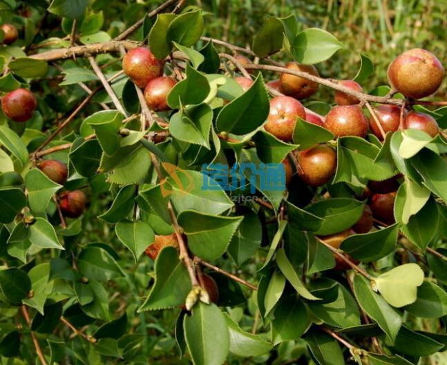 茶子树木图片