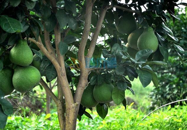 柚子樹苗圖片