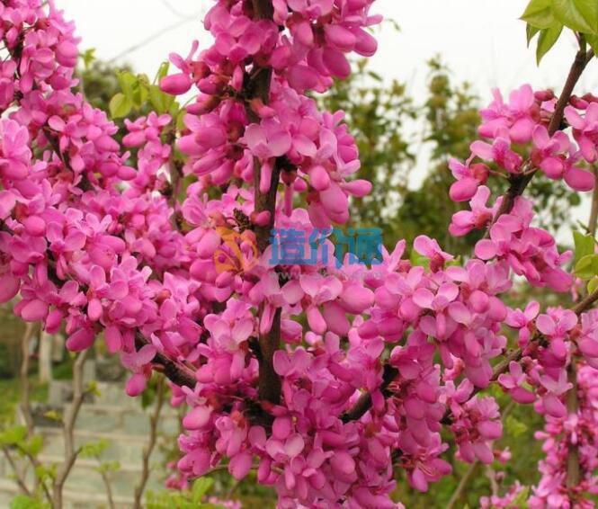 云南紫荆图片