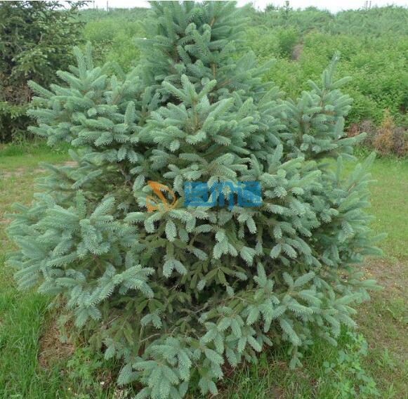云杉(胸径3-5cm,高2.5m以上,冠幅1.5m,土球?#26412;?.5m)图片