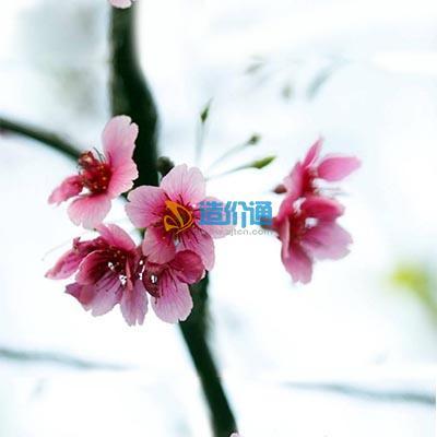 台湾钟樱花(单瓣、大红)图片