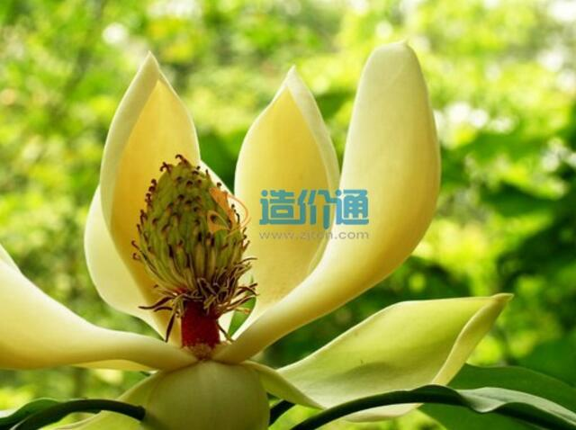 中缅木莲图片