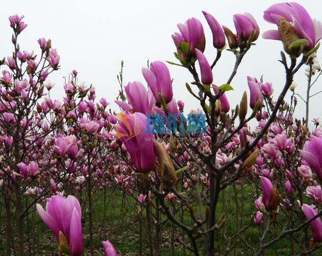 紫玉兰(嫁接苗)图片