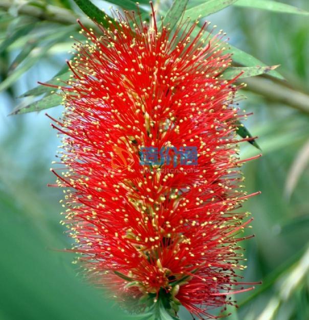 澳洲红千层球图片