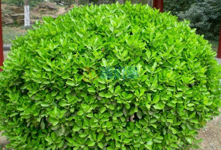 大葉黃楊籬圖片