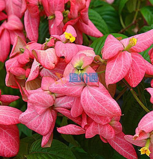 粉葉金花圖片