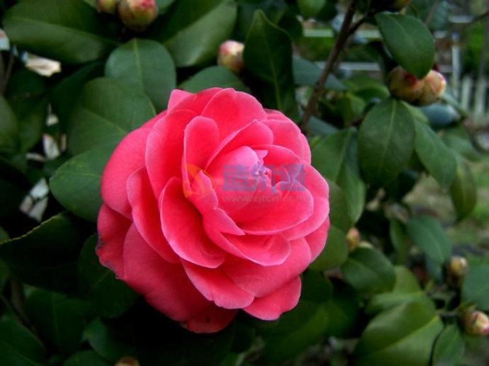 红茶花图片