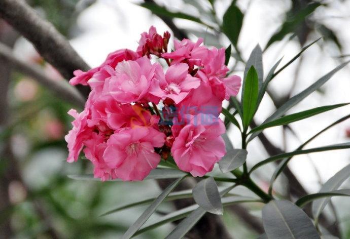 紅花夾竹桃B圖片