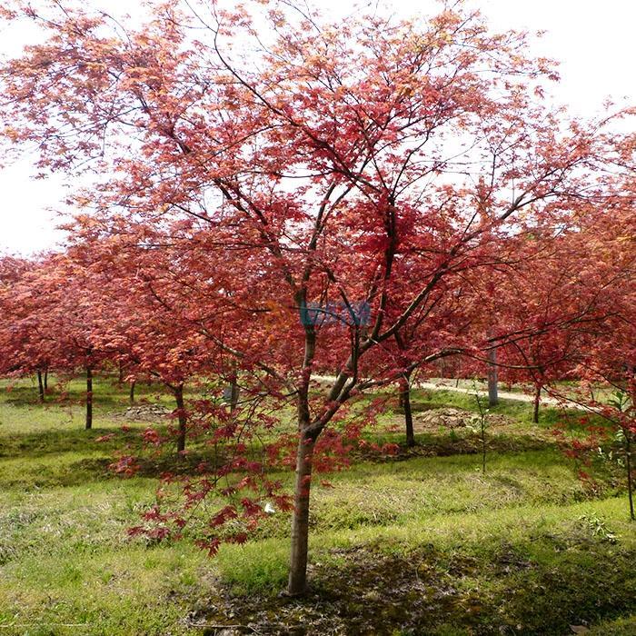 1、红叶李B2、高度:250-300cm、干径:5-7cm、冠径:120-150cm图片
