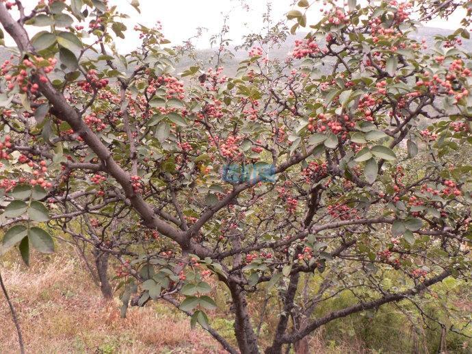 花椒树苗图片