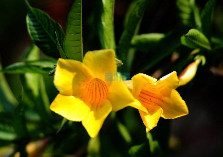 硬枝黄蝉图片