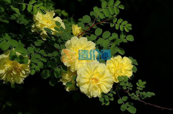銀川黃刺玫圖片