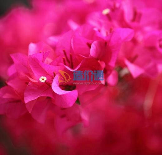 花叶勒杜鹃图片
