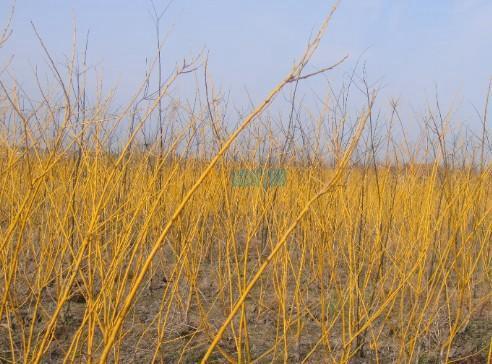 金枝梾木图片