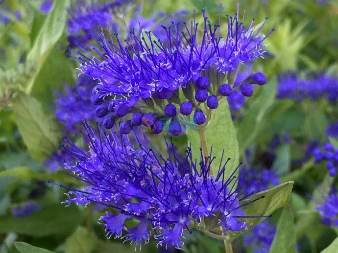 蓝花莸图片