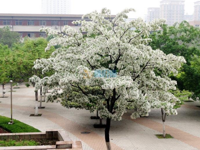 流苏树图片