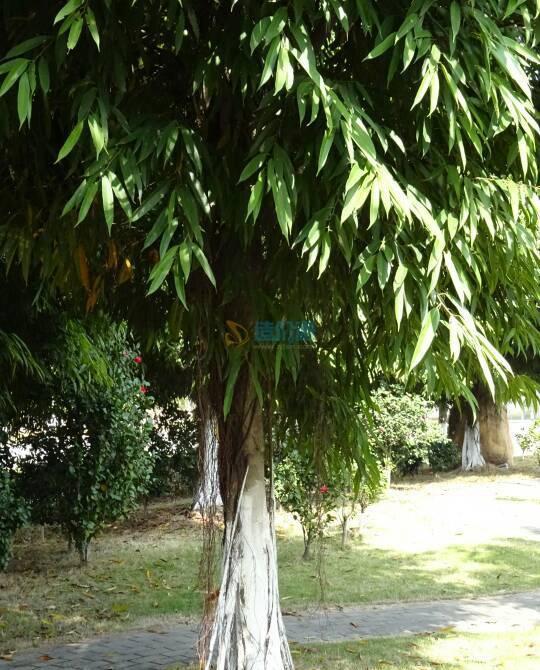 柳葉榕圖片