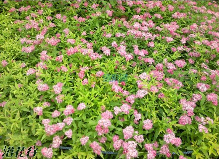 柳叶绣线菊图片
